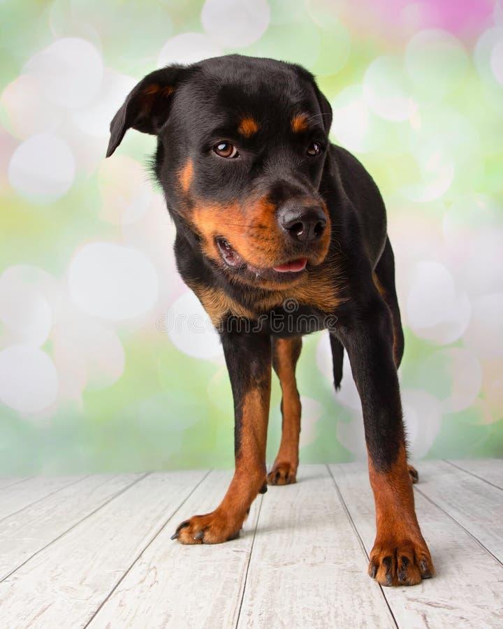Rottweiler-Porträt in der Studio-Stellung lizenzfreies stockfoto