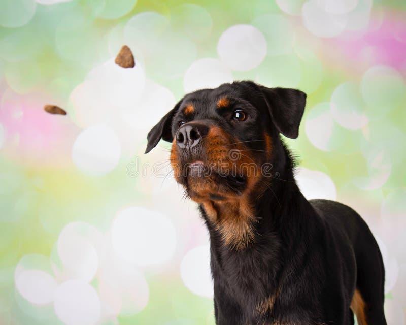 Rottweiler-Porträt in Studio-fangenden Festlichkeiten lizenzfreie stockbilder