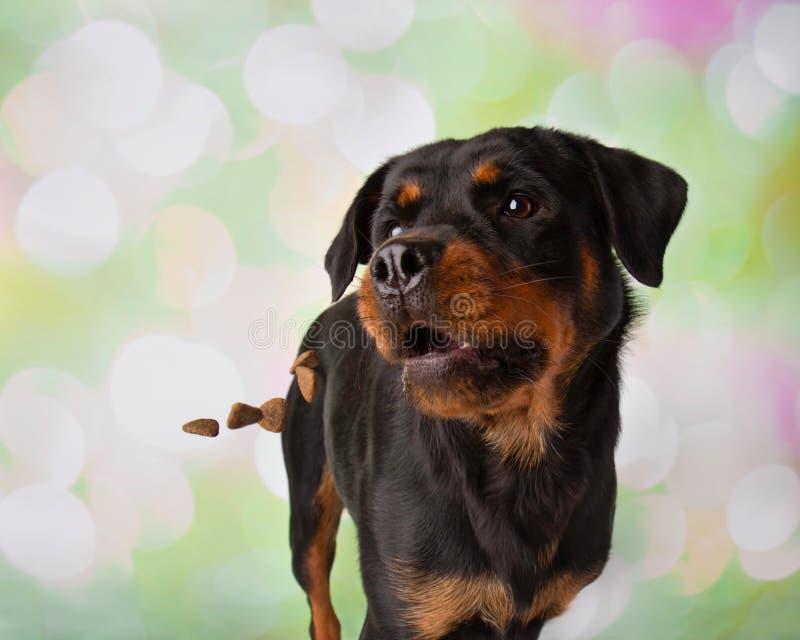 Rottweiler-Porträt in Studio-fangenden Festlichkeiten stockfotos