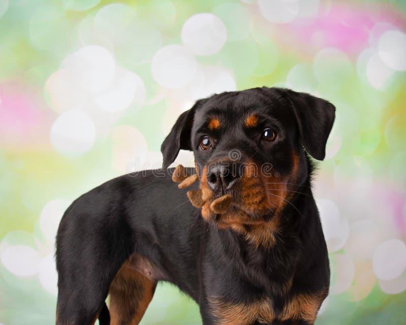 Rottweiler-Porträt in Studio-fangenden Festlichkeiten lizenzfreies stockbild