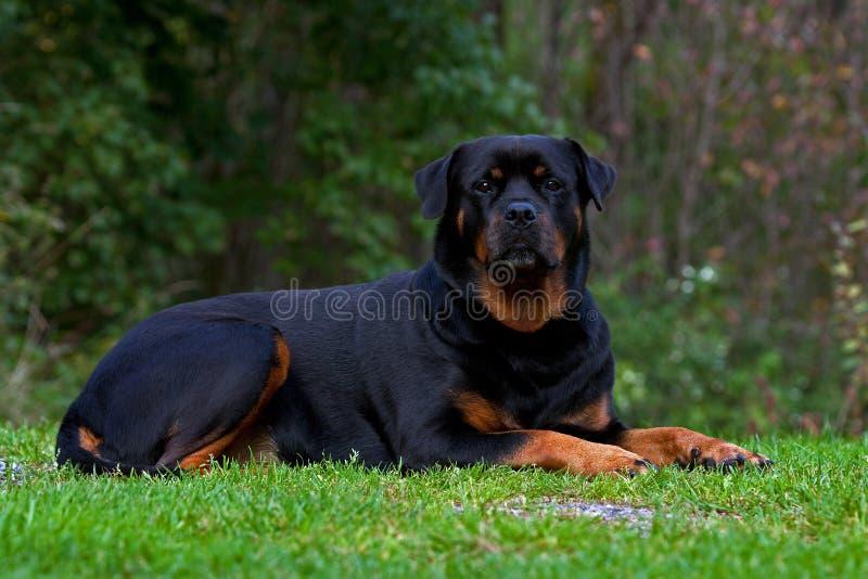 Rottweiler Portrait lizenzfreie stockfotografie