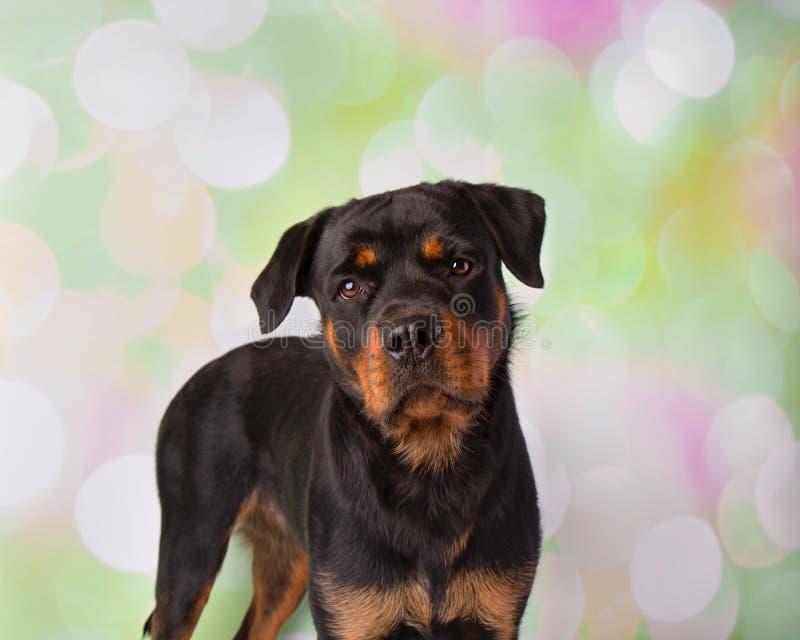 Rottweiler Portrait In Studio Standing stock photo