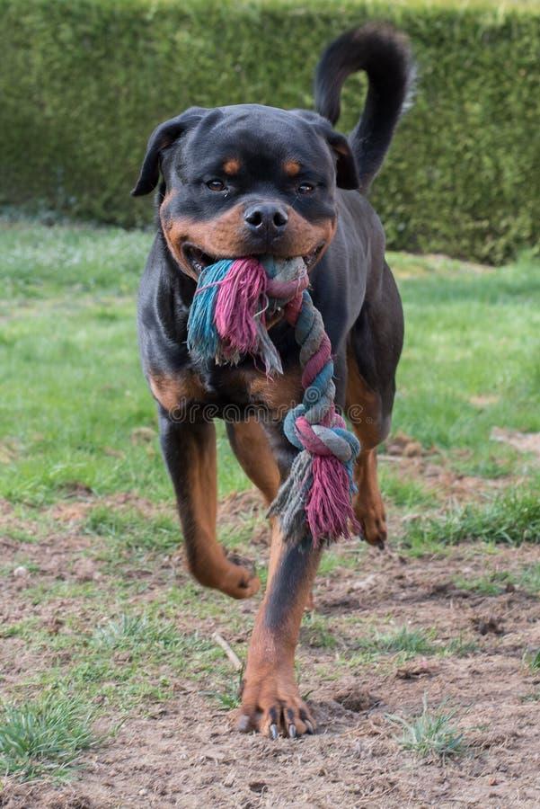 Rottweiler psa portret obraz royalty free
