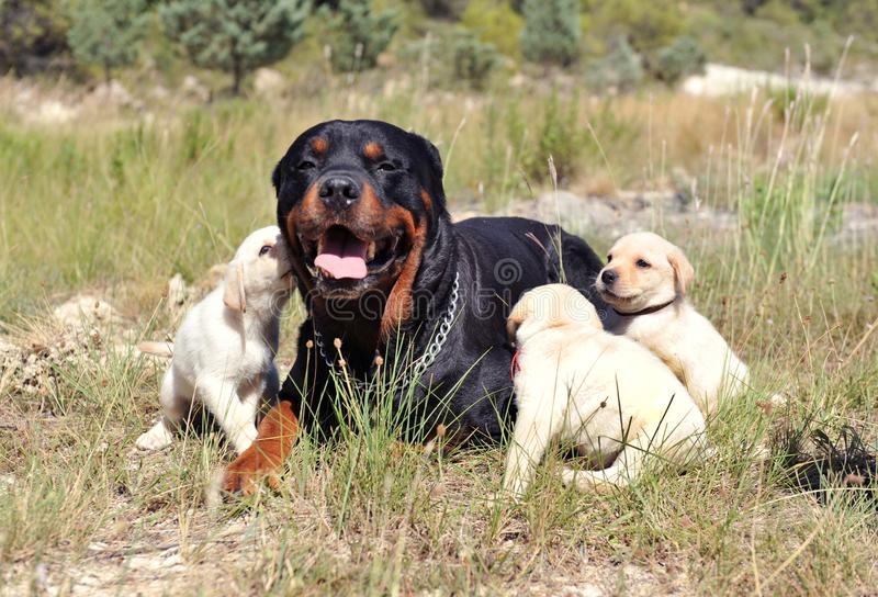 Rottweiler and puppies labrador royalty free stock image