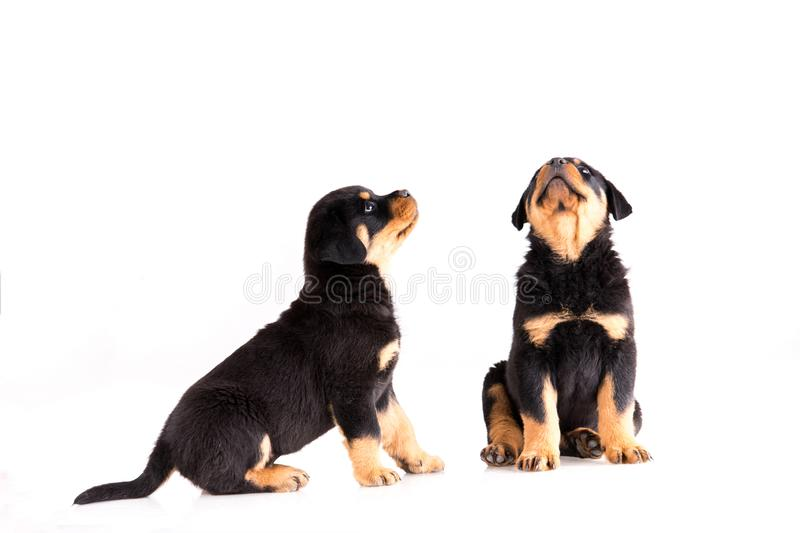 Rottweiler puppies sitting together on white background stock photo