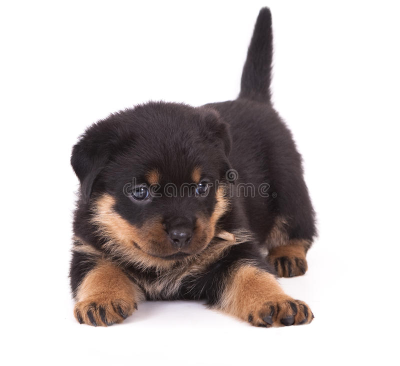 Download Rottweiler  puppy stock image. Image of wool, baby, rottweiler - 17061213