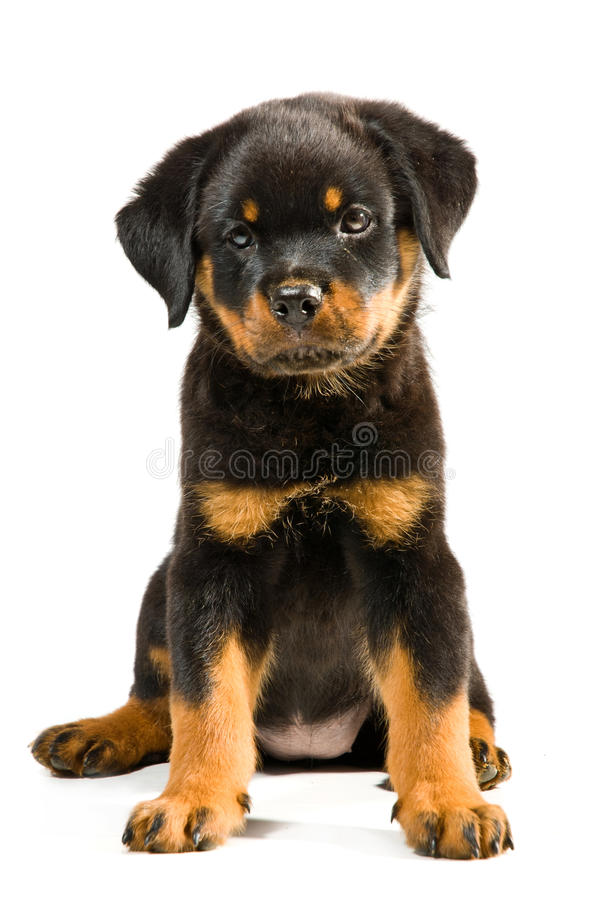 Free Rottweiler Puppy Stock Photo - 21106760