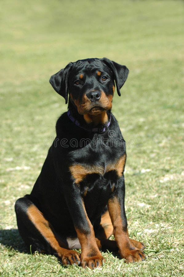 Download Rottweiler puppy stock image. Image of expressions, breed - 2924381