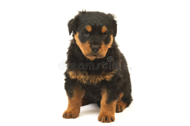 Download Rottweiler puppy stock photo. Image of staring, rottweiler - 4064570