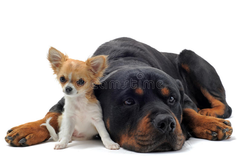 Rottweiler and puppy chihuahua royalty free stock photography