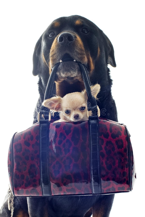 Rottweiler And Puppy Chihuahua Stock Photos