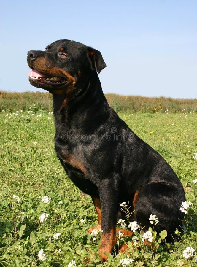 Rottweiler que se sienta imagen de archivo libre de regalías