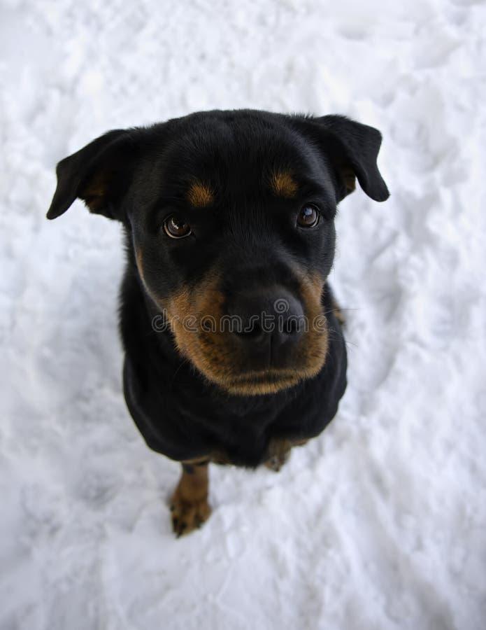 Rottweiler que se sienta en nieve en el invierno que mira para arriba imagen de archivo libre de regalías