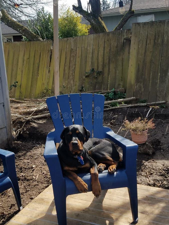 Rottweiler que senta-se na cadeira do pátio foto de stock