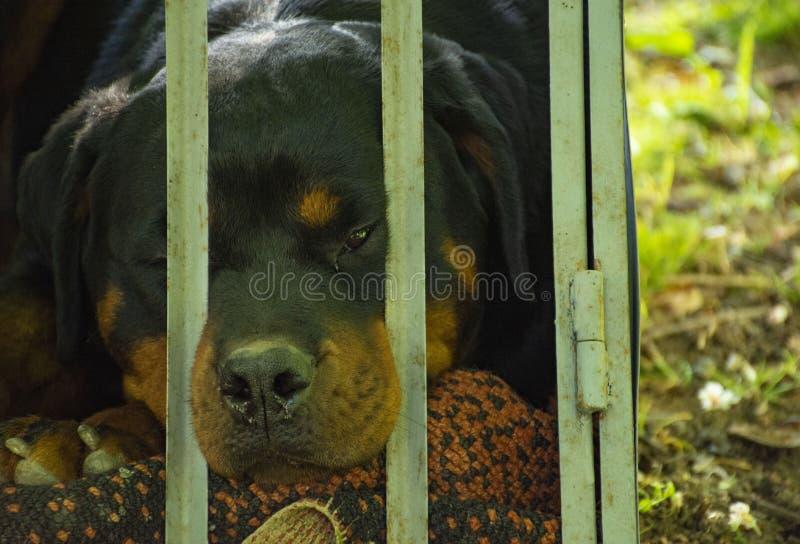 Rottweiler, ras van binnenlandse hond stock afbeelding