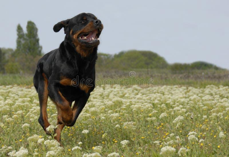 Rottweiler Running fotografia de stock