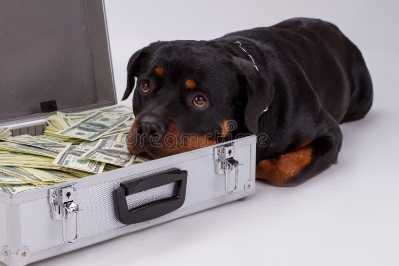 Rottweiler setzte Kopf in Koffer mit Geld ein stockfotografie