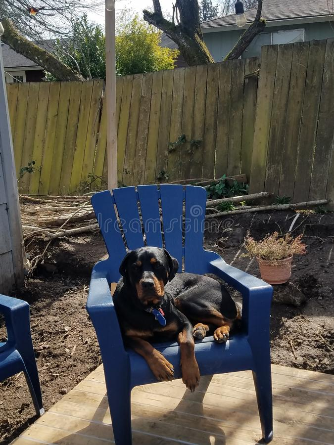 Rottweiler sitting in patio chair stock photo