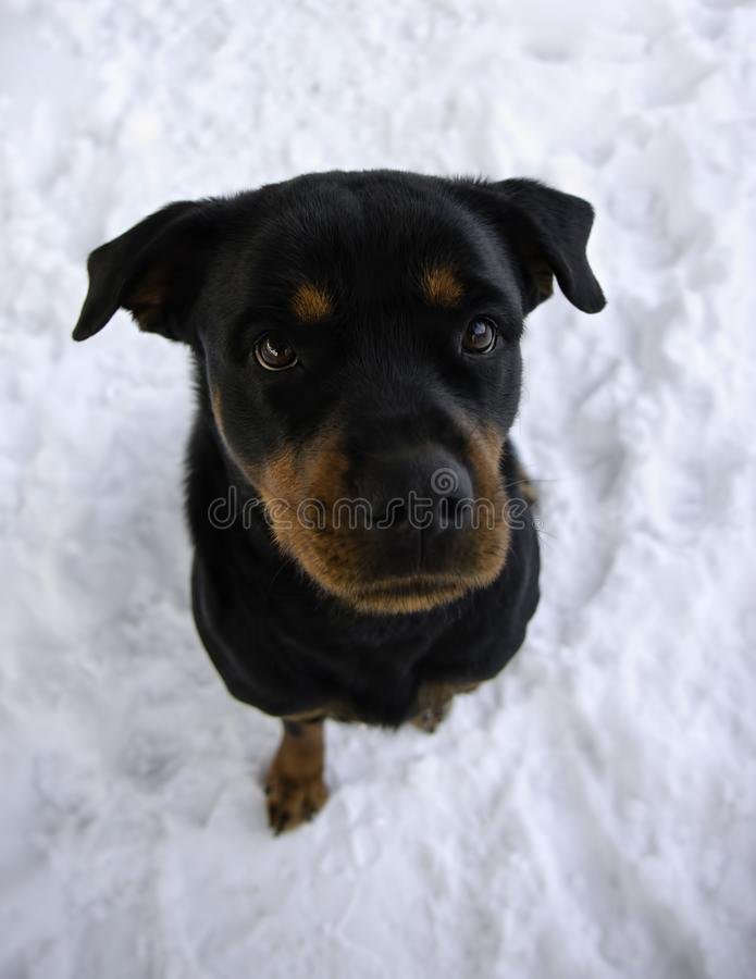Rottweiler Sitting in Snow in Winter Looking Up royalty free stock image