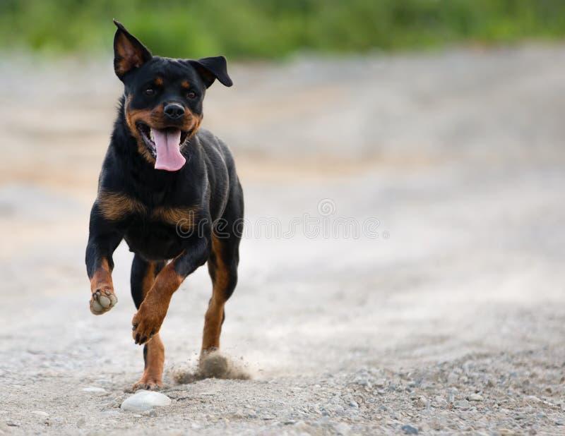 Rottweiler som kör på grusvägen som ser till rätten arkivfoto