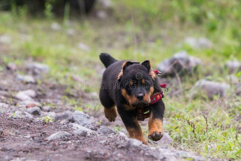 Rottweiler szczeniaka Męski bieg zdjęcie stock