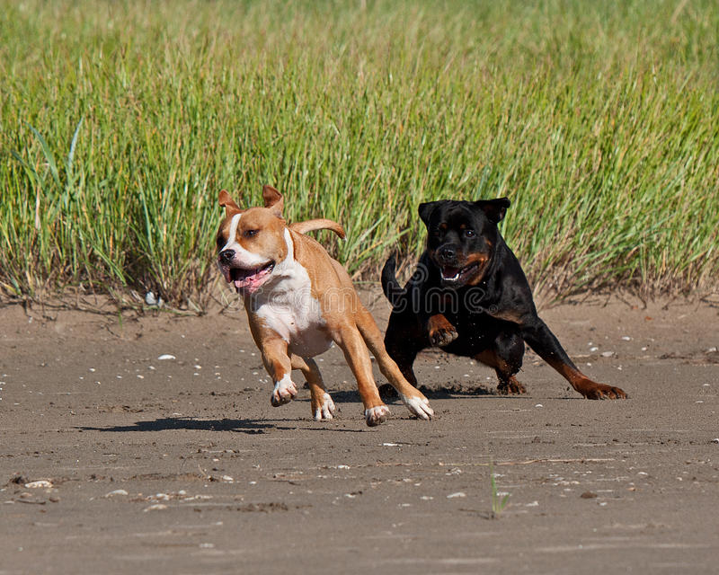 Rottweiler and American staffordshire terrier met. American staffordshire terrier male meets female rottweiler for playing fighting for a while on the beach royalty free stock photography