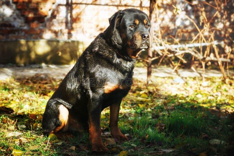Rottweiler triste se sienta al aire libre foto de archivo libre de regalías