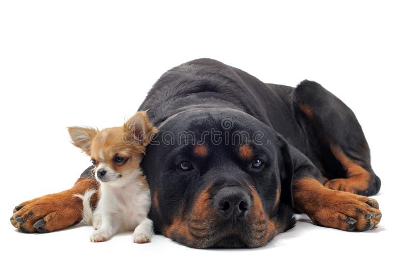 Rottweiler und Welpen-Chihuahua lizenzfreies stockfoto