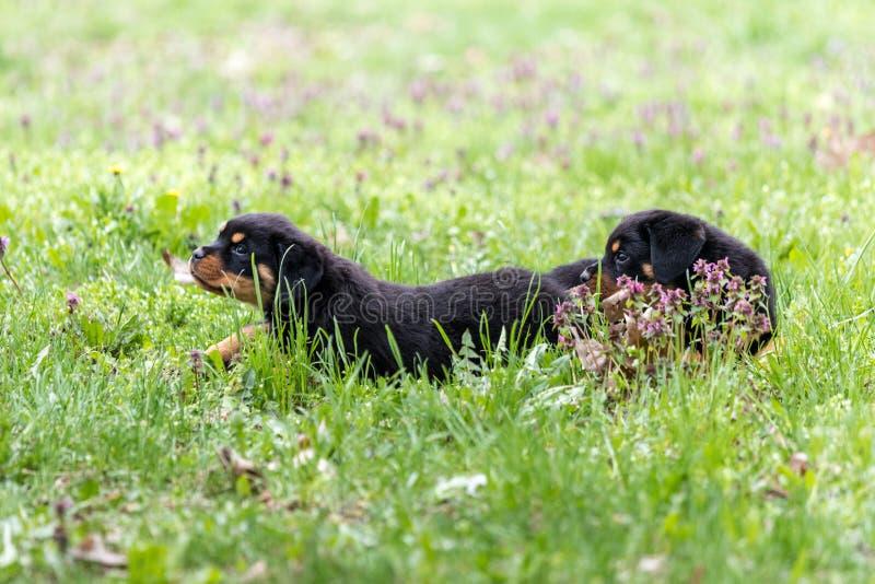 Rottweiler valpar som tillsammans spelar i gräset arkivbilder