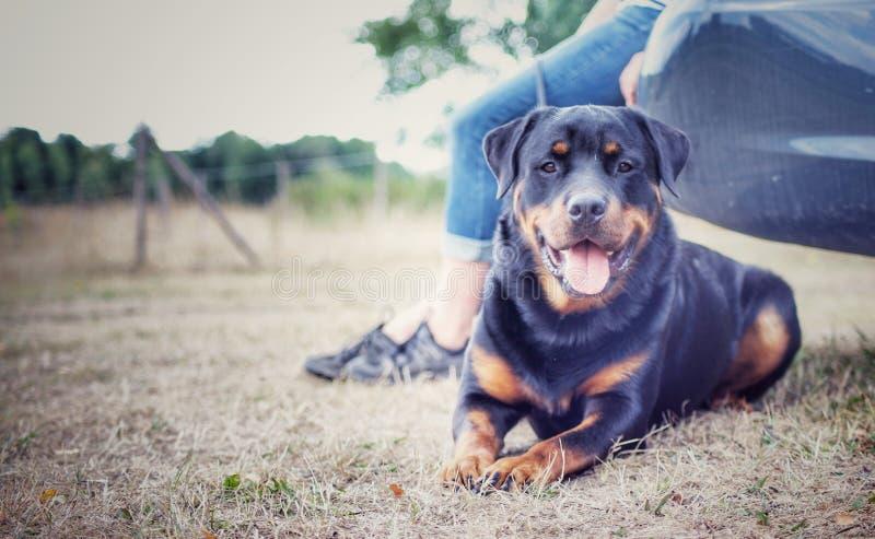 Rottweiler workingdog fotografia stock