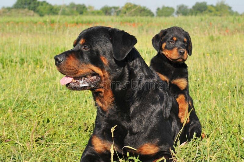 Rottweiler y perrito fotos de archivo