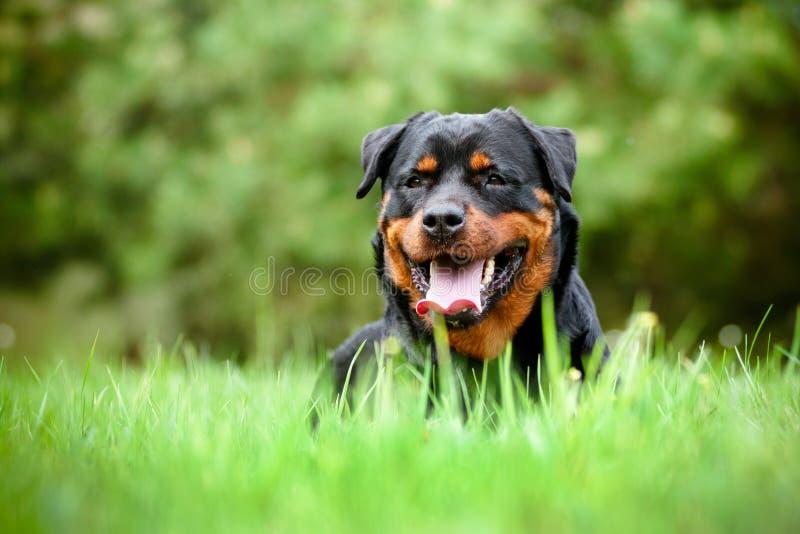 Rottweilerhond die op het gras rusten royalty-vrije stock foto's