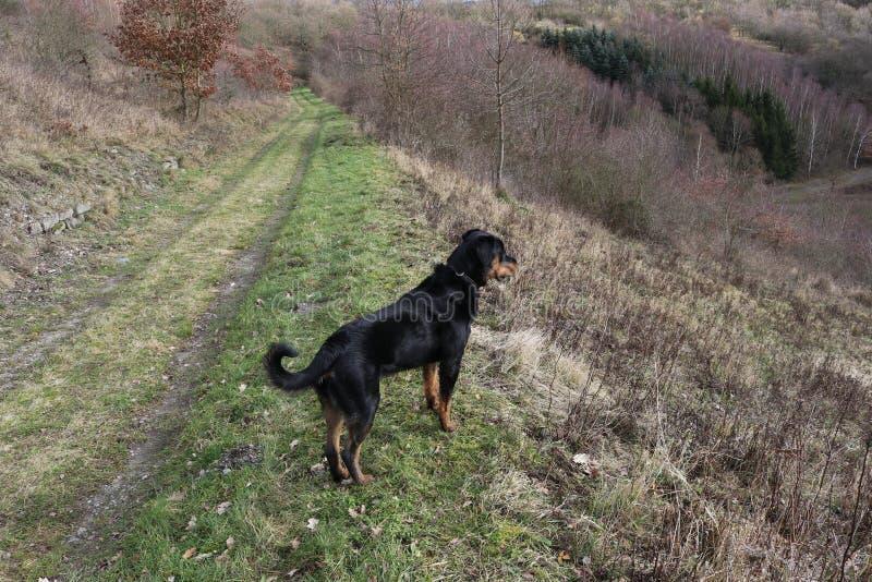 Rottweilerhond het letten op royalty-vrije stock afbeelding
