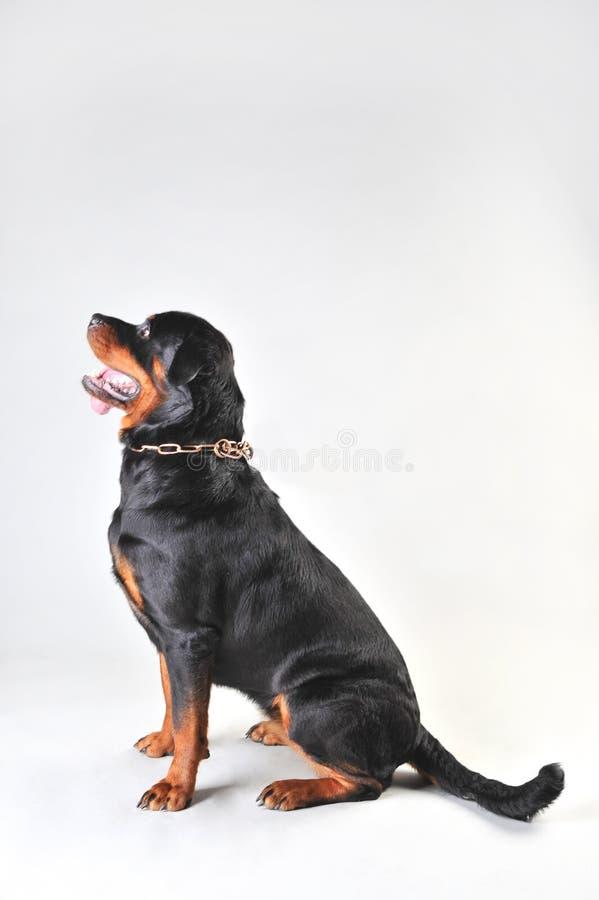 Rottweilerhond op witte achtergrond wordt ge?soleerd die royalty-vrije stock foto's