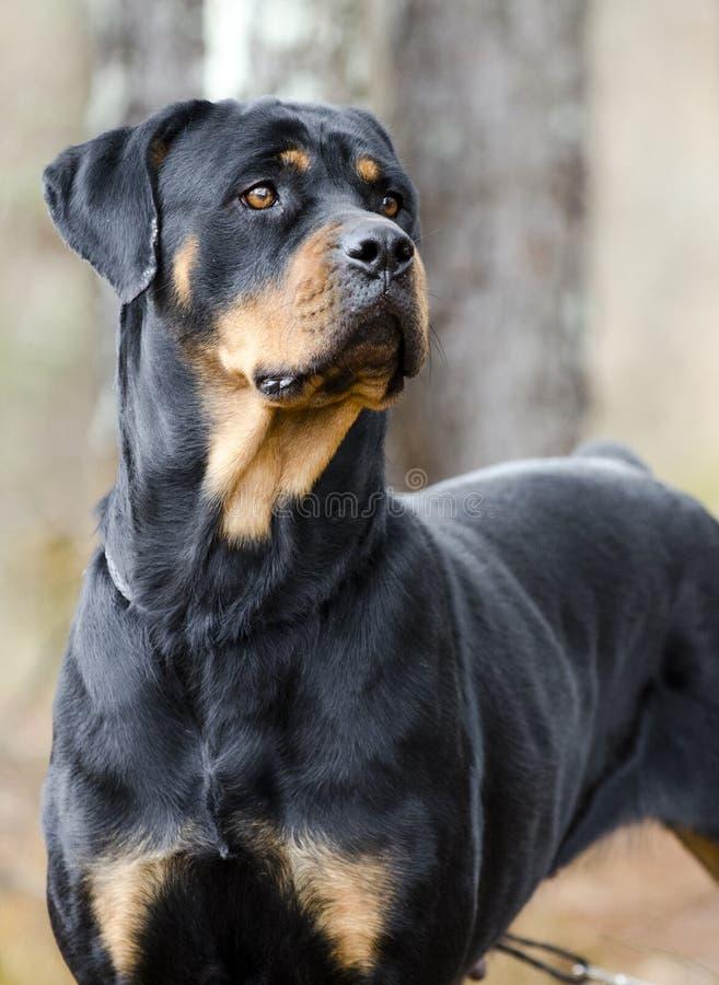 Rottweilerhond in openlucht in hout, Georgië royalty-vrije stock afbeelding