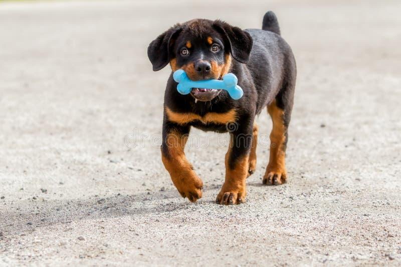 Rottweilerpuppy die een Blauw Rubberbeen houden royalty-vrije stock afbeeldingen