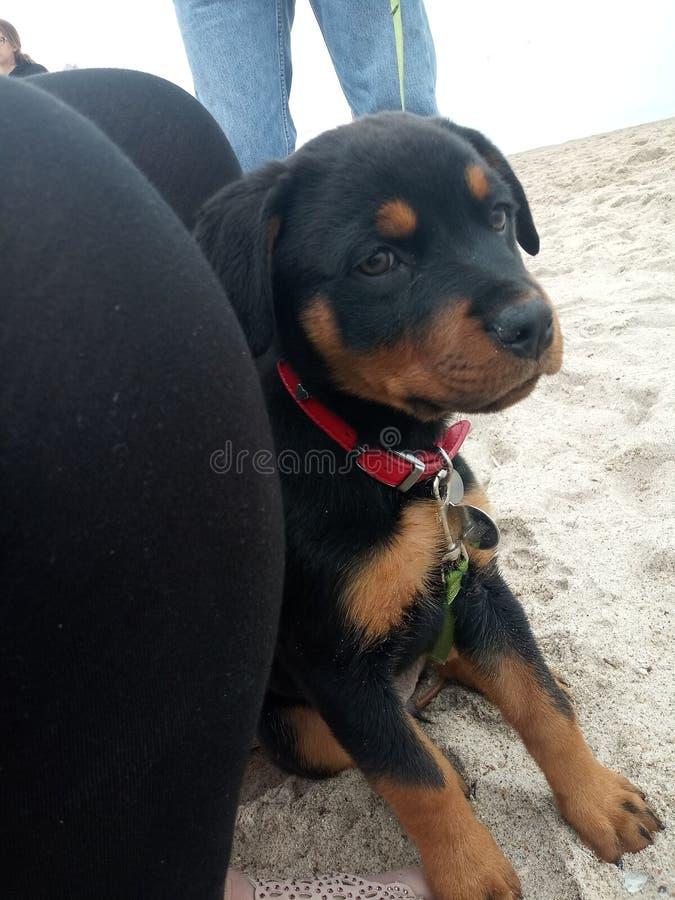 Rottweilerpuppy op een strand royalty-vrije stock fotografie