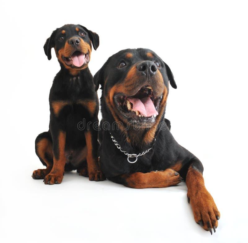 Rottweilers stockfotos