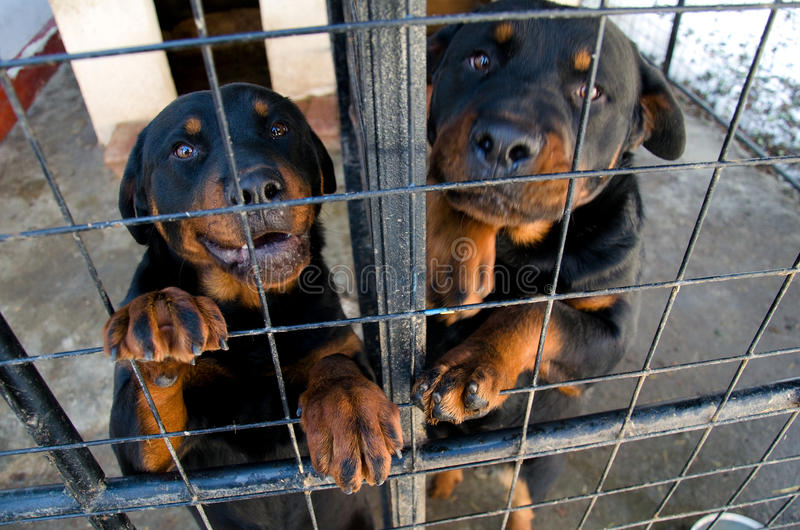Rottweilers at the animal shelter