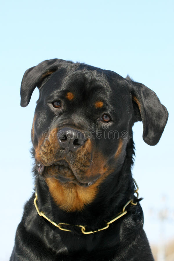 Free Rottweilers Portrate Royalty Free Stock Photography - 13285297