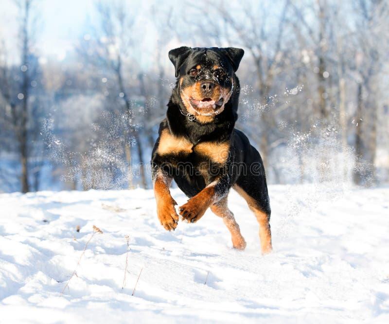 Rottweilerspelen in de sneeuw royalty-vrije stock afbeelding