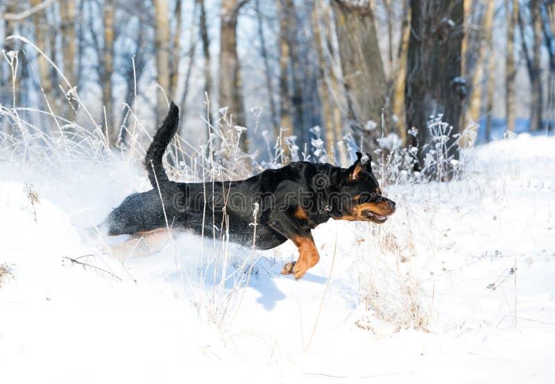 Rottweilerspelen in de sneeuw royalty-vrije stock afbeeldingen