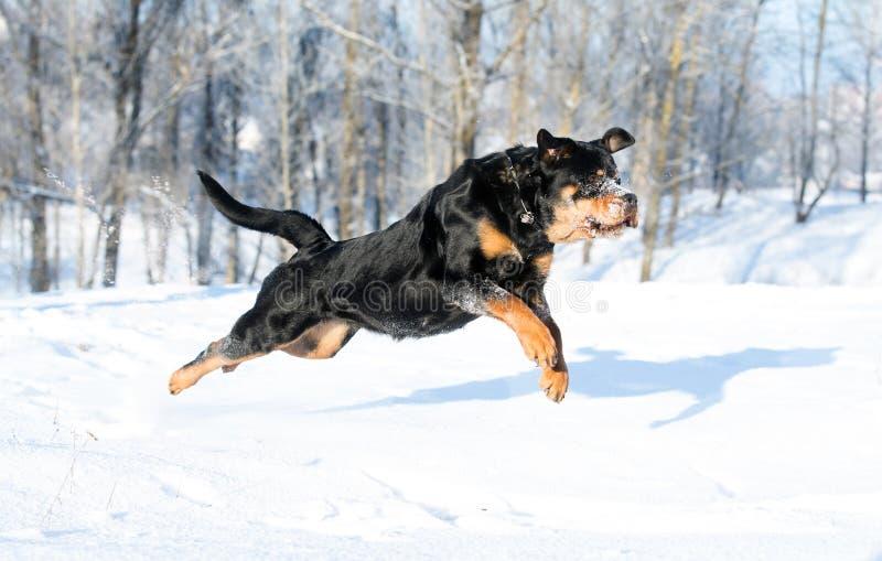 Rottweilerspelen in de sneeuw stock foto's