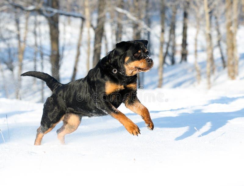 Rottweilerspelen in de sneeuw stock afbeeldingen