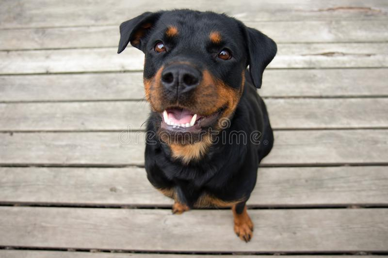 Rottweiller Sitting Looking Up with Ears up and Teeth Showing. Rottweiller Pet Sitting Looking Up with Ears up and Teeth Showing royalty free stock images