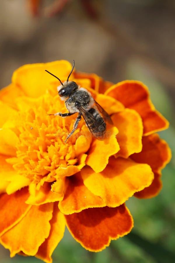 Rotundata caucásico rayado gris macro del Megachile de los himenópteros de la abeja imagen de archivo