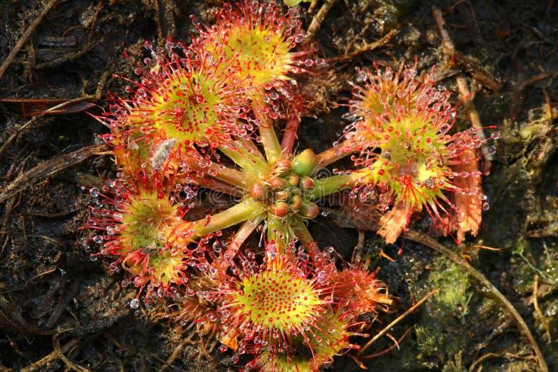 Rotundifolia carnivore de Drosera de fleur images libres de droits