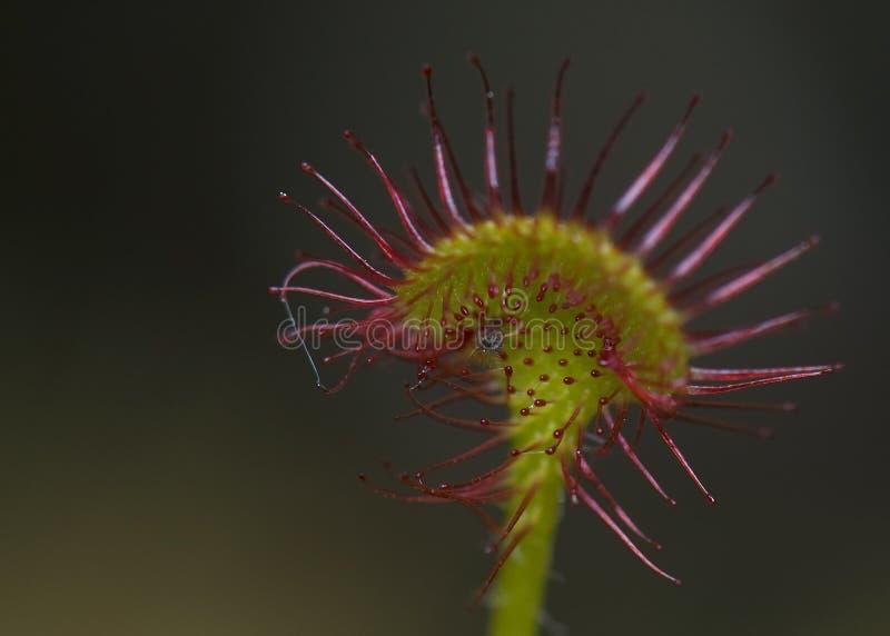 Rotundifolia del Drosera fotografía de archivo libre de regalías
