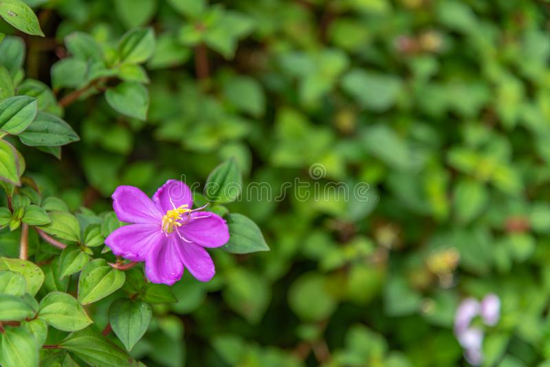 Rotundifolia Dissotis имеет 6 лепестков стоковое фото