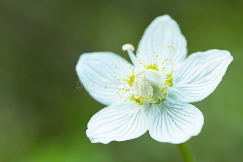rotundifolia drosera стоковое фото rf